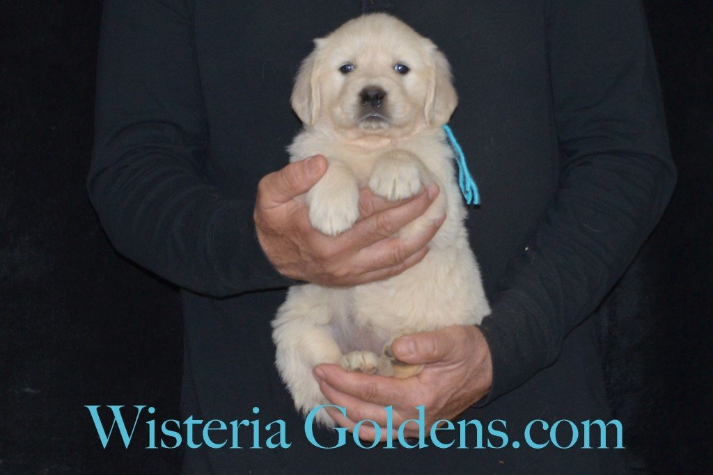 Sunny Litter Teal Girl - 7.2 lbs Sunny/Ego Litter Born 01-30-2016 6 girls and 3 boys. Ready for new homes on 3/26/2016. English Cream Golden Retrievers puppies for sale Wisteria Goldens focuses on raising quality and healthy English Golden Retrievers. Visit our website for availability information, information for new owners, and how to contact us for purchasing your own Wisteria Golden English Cream Golden Retriever puppy! #englishcreamgoldenretriever #puppiesforsale #sunnylitter