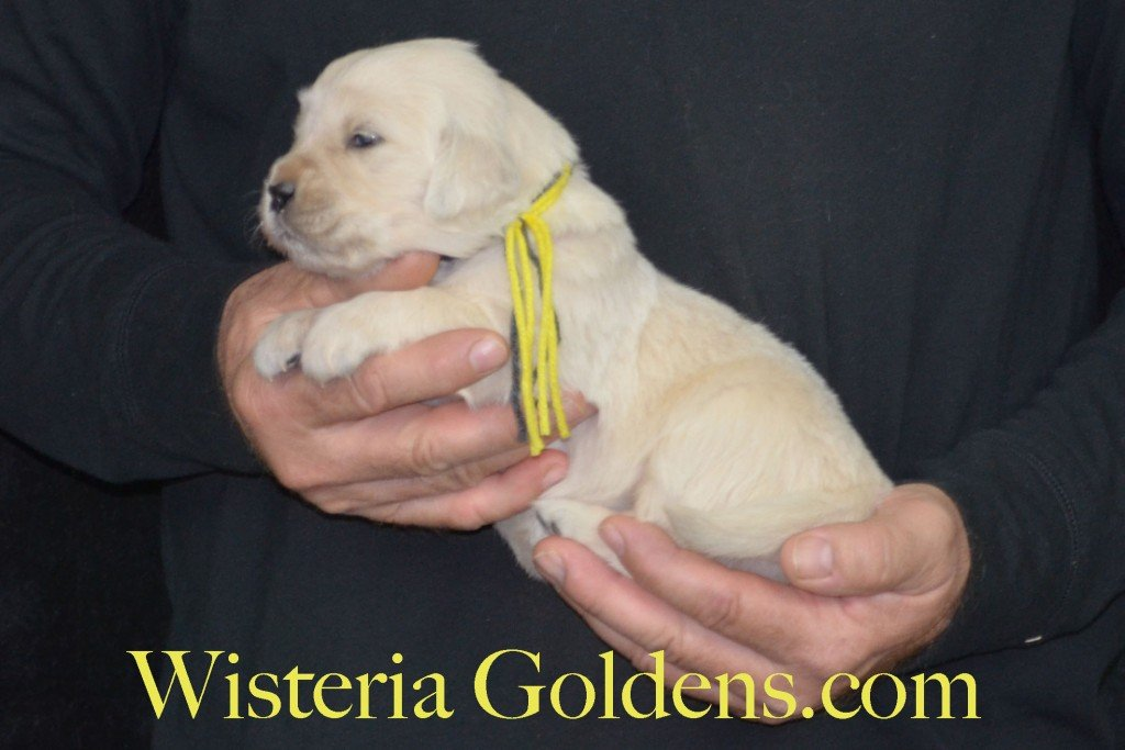 Sunny Litter Three 3 Weeks Pictures Yellow Girl - 3.6 lbs Sunny/Ego Litter Born 01-30-2016 6 girls and 3 boys. Ready for new homes 3/25/2016. Contact me about current puppy availability. http://wisteriagoldens.com/available-puppies/sunny-litter/ #englishcreamgoldenretriever #puppiesforsale #SunnyLitter #puppypictures #wisteriagoldens