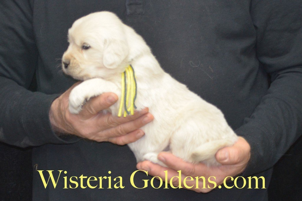 Sunny Litter Yellow Girl - 4.6 lbs Sunny/Ego Litter Born 01-30-2016 6 girls and 3 boys. Ready for new homes on 3/26/2016. English Cream Golden Retriever puppies for sale Wisteria Goldens Sunny Litter Ego Litter 4 Weeks Pictures #puppypictures #englishcreamgoldenretriever #puppiesforsale #wisteriagoldens #sunnylitter