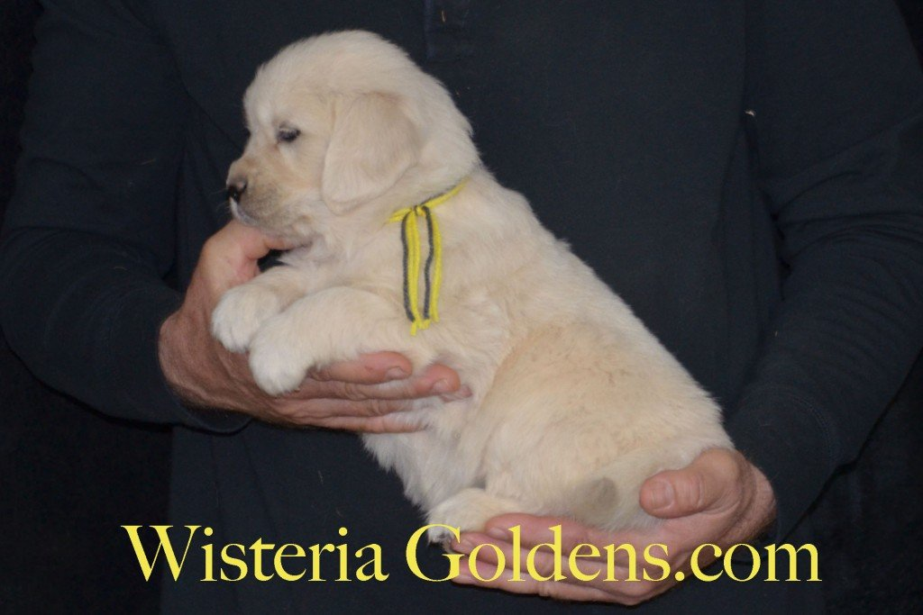 Sunny Litter Yellow Girl - 7.6 lbs Sunny/Ego Litter Born 01-30-2016 6 girls and 3 boys. Ready for new homes on 3/26/2016. English Cream Golden Retrievers puppies for sale Wisteria Goldens focuses on raising quality and healthy English Golden Retrievers. Visit our website for availability information, information for new owners, and how to contact us for purchasing your own Wisteria Golden English Cream Golden Retriever puppy! #englishcreamgoldenretriever #puppiesforsale #sunnylitter