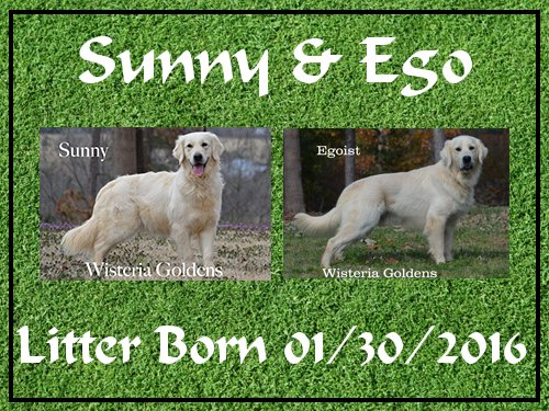 Sunny Litter Sunny-Ego Litter born 01-30-2016 ready for new homes 03-26-2016 English Cream Golden Retriever puppies for sale wisteria goldens . com