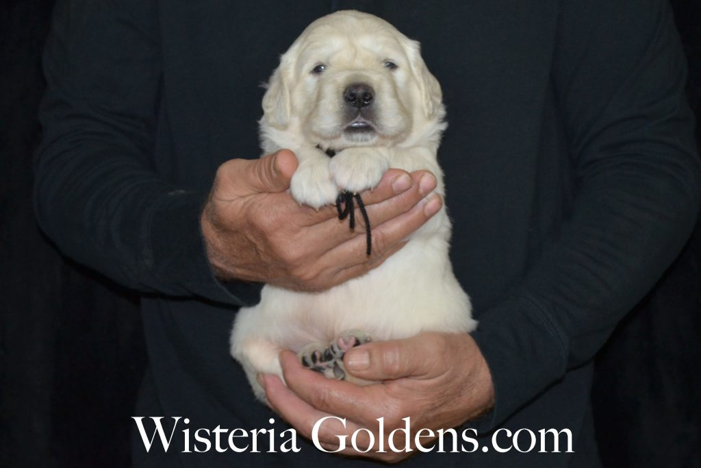 Aria Litter black boy three weeks english cream golden retriever puppies for sale wisteria goldens