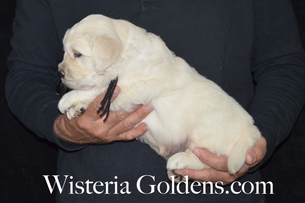 Aria Litter four week pictures english cream golden retriever puppies