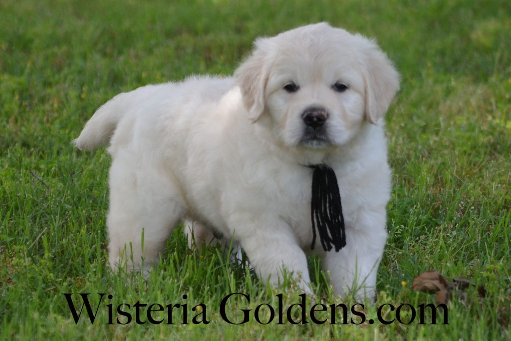 Aria Litter Born 4-20-2016 English cream golden retriever puppies at Wisteria Goldens Aria and Thor Litter.
