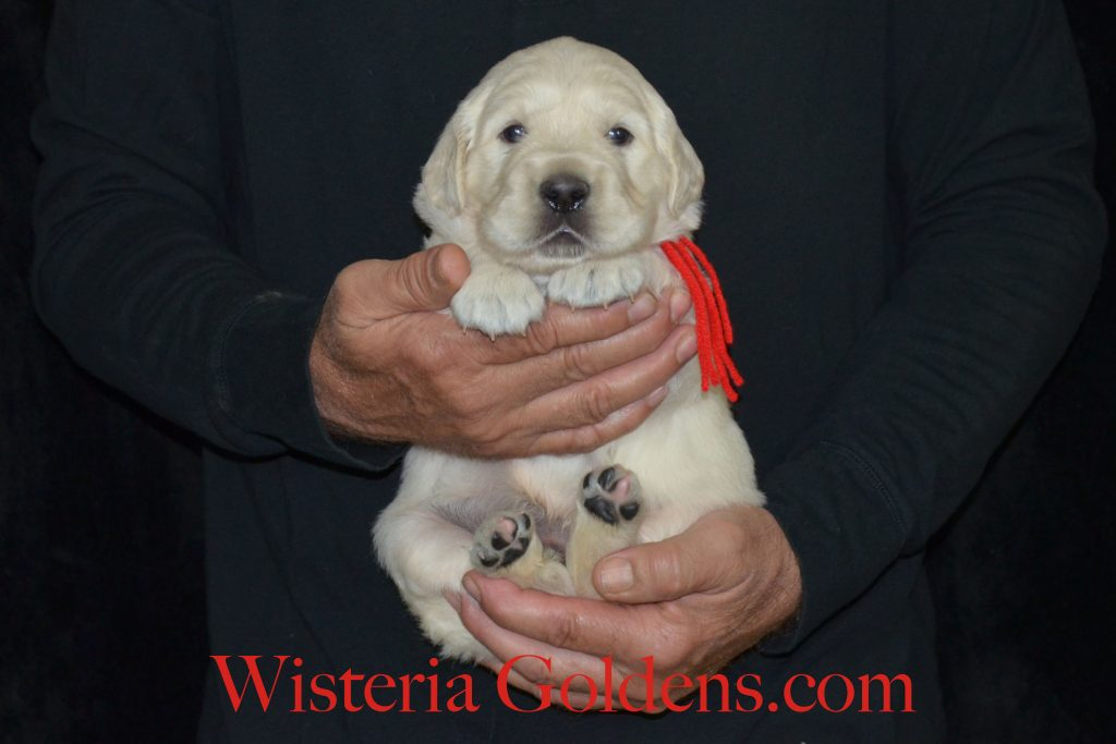 Aria Litter red boy three weeks english cream golden retriever puppies for sale wisteria goldens