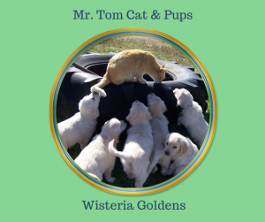 Mr. Tom Cat is a big help around here playing and interacting with puppies. He is usually close by whenever they are out to play. He is 16 years old and slowing down a bit, but still loves to be around the puppies.