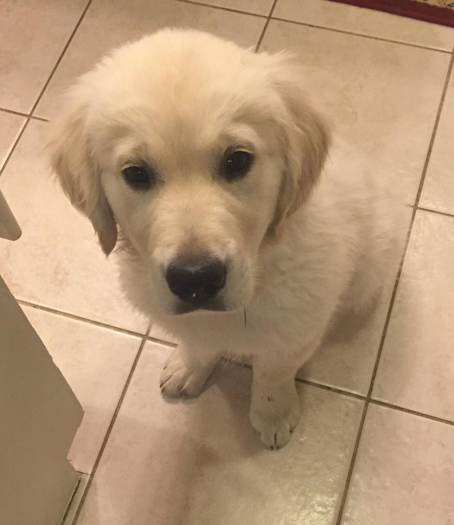 puppy update english cream golden retriever