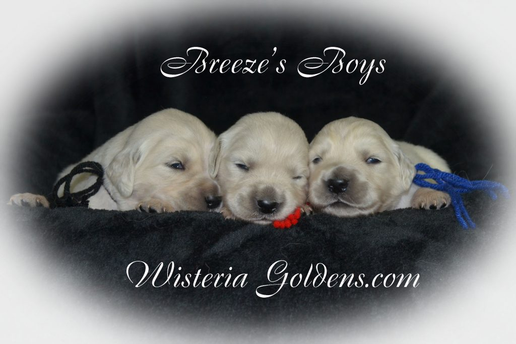 Breeze Litter Born 5-03-2016 Two week pictures english cream golden retriever puppies