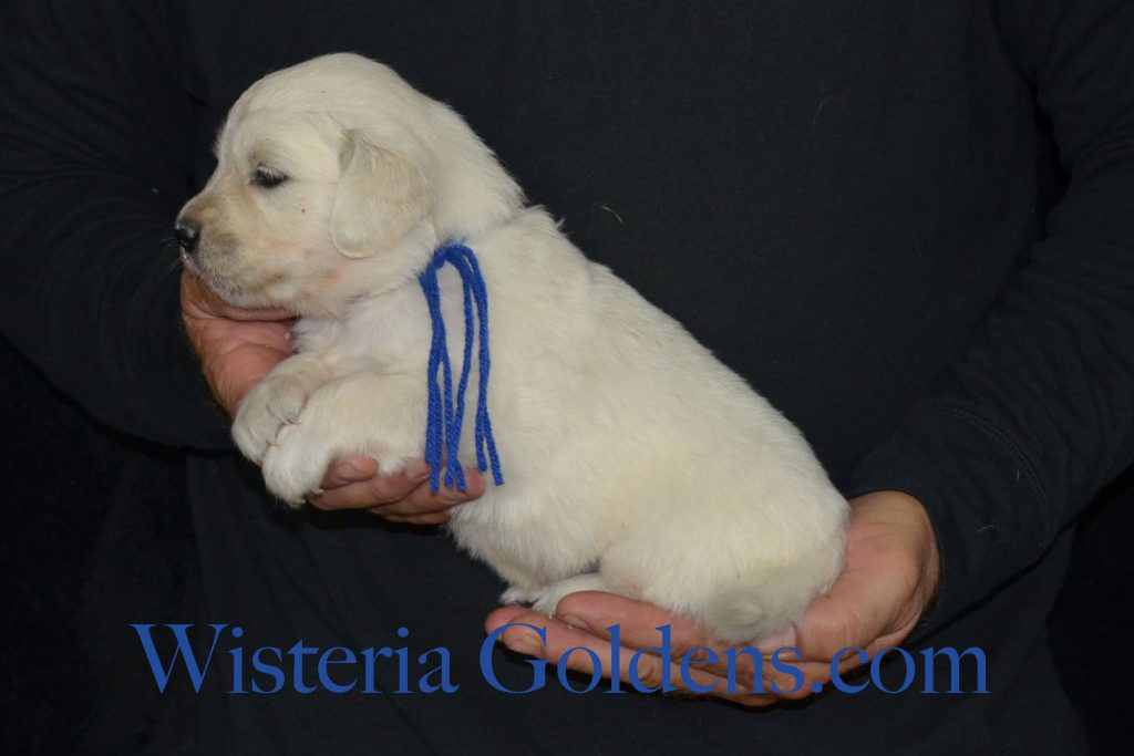 Breeze Litter Born 5-03-2016 four week pictures english cream golden retriever puppies for sale
