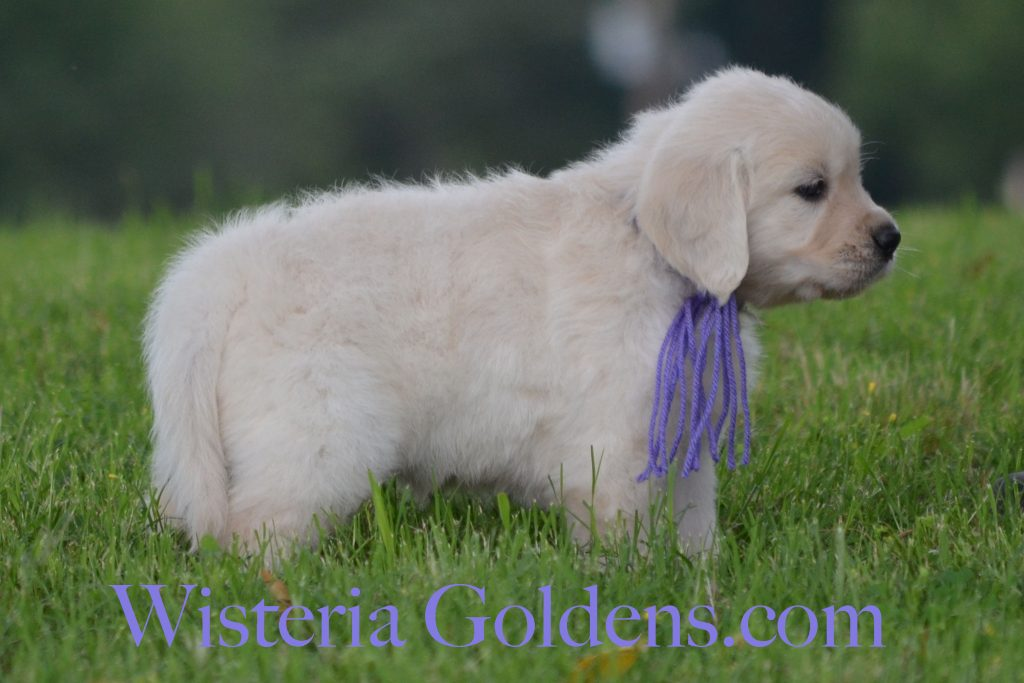 Breeze Litter Born 5-04-2016 six week pictures English Cream Golden Retreiver puppies for sale wisteria goldens.
