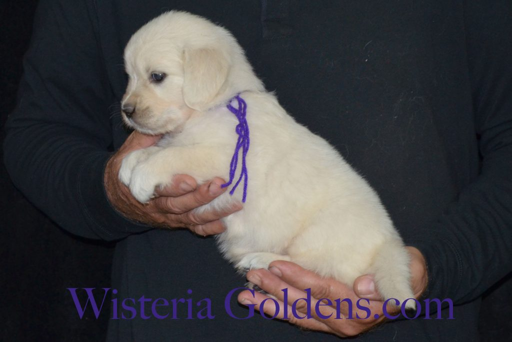 Breeze Litter 5 week pictures english cream golden retriever puppies for sale wisteria goldens