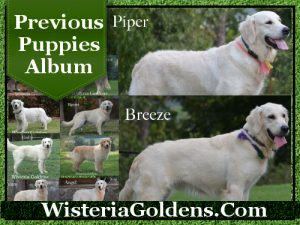 Previous Puppies English Cream Golden Retriever Puppies