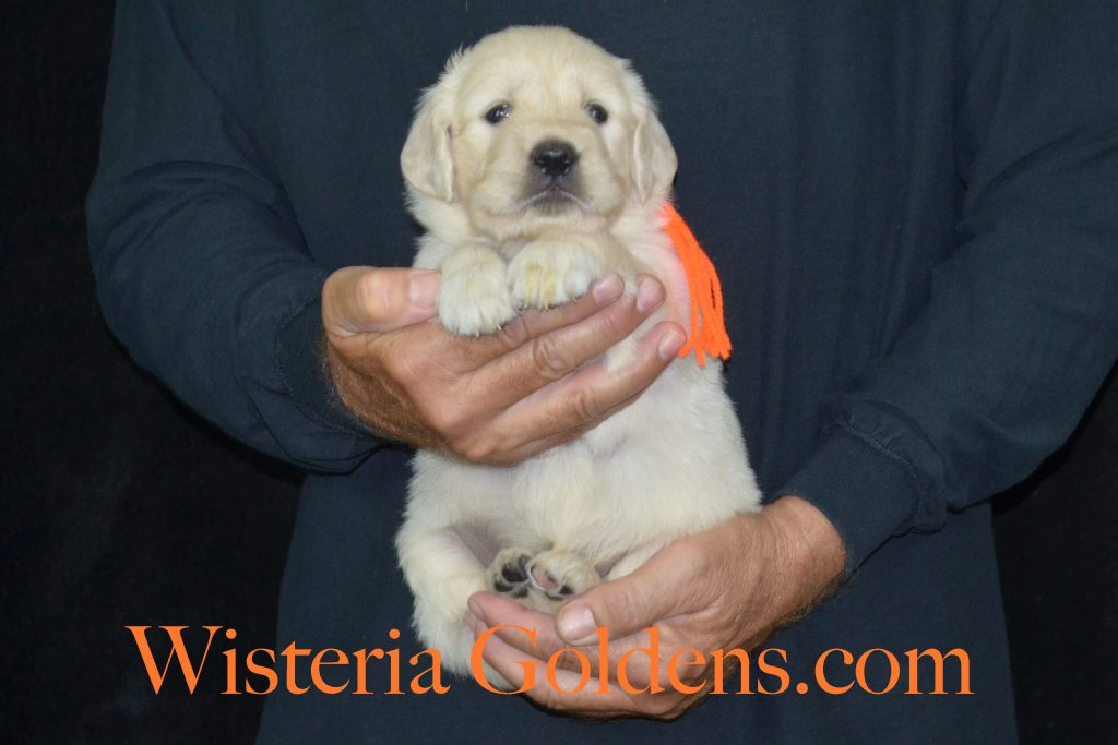 Piper Litter 4 week pictures English Cream Golden Retriever puppies wisteria goldens #piperlitter