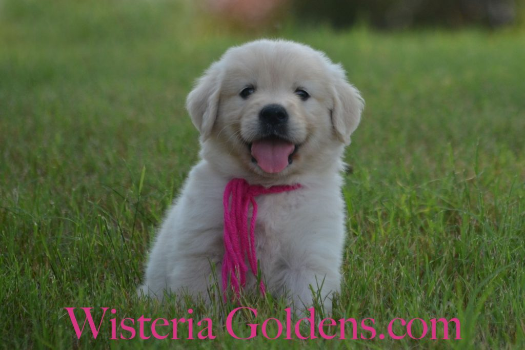 Piper Litter six weeks pictures English Cream Golden Retriever Puppies Wisteria Goldens