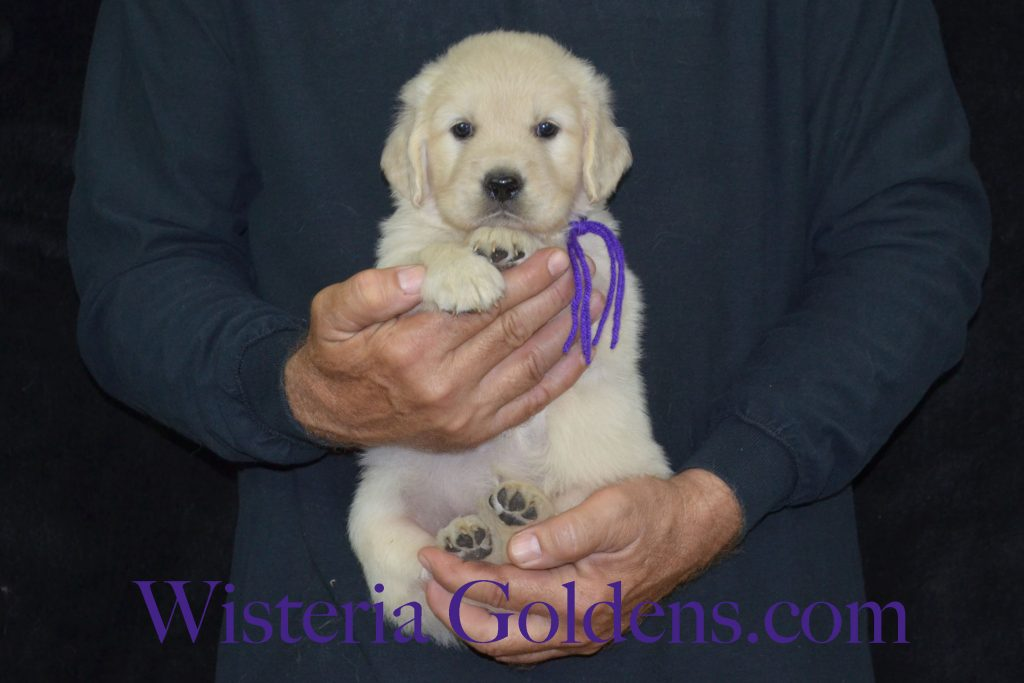 Piper Litter Piper/Ego Litter Born 6/26/16 7 girls and 5 boys. Ready for their new homes 8/21/16 wisteria goldens. english cream golden retriever puppies. piper litter. ego litter. five week pictures.