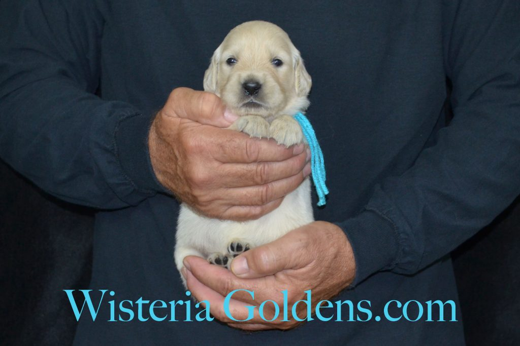 Piper Litter Piper/Ego Litter Born 6/26/16 7 girls and 5 boys. All puppies are spoken for. Ready for their new homes 8/21/16 Wisteria Goldens English Cream Golden Retriever Puppies for Sale
