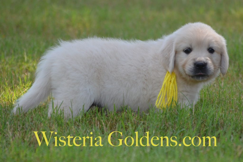 Piper Yellow Girl 6 Wks_0861