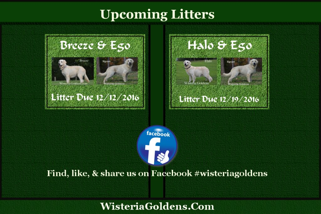 Upcoming Litters English Cream Golden Retriever Puppies for sale Wisteria Goldens