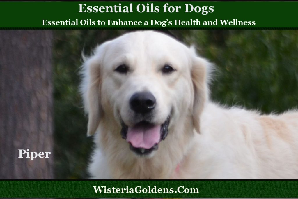 Essential Oils to Enhance a Dog's Health and Wellness There are many remarkable essential oils to enhance a dog's health and wellness. Essential Oils are plant based oils derived from living elements of a plant. Our dogs benefit from the essential oils we use ourselves as well. If you haven't read Essential Oil Precautions for Dog Owners please bookmark that page as well. Choosing Quality Essential Oils We want the ability to trace the oil source back to the plant used to extract the oil because the quality of an essential oil is important to provide the quality results we expect. It is important to us to ensure the plant is healthy, has not been treated with chemicals we do not want, and has been processed the best way possible to retain the most benefits. Find out more. The purpose of this series is to provide the reader with information to make informed decisions about the highest quality essential oils to choose and a variety of our favorite ways to use them. Three of our favorite essential oils to enhance a dog's health and wellness 1. Lavender – Antibacterial, first aid for skin irritations and itching, naturally gentle, safe, and calming. 2. Peppermint – Insect repellent, antispasmodic, improved circulation and good for sprains or pain due to arthritis. 3. Ginger – Antioxidant, Anxiety, Inflammation, Upset stomach and to treat motion sickness. Important Warning Using Essential Oils can be safe and effective when you are aware of the precautions and the proper way to use them. Please be cautious. Dilute essential oils (with carrier oils such as coconut oil for example). Don't use essential oils on puppies under 12 weeks old, pregnant/nursing dogs, or elderly dogs without a professional healing practitioners dosing and use prescription. Related Topics Essential Oil Precautions for Dog Owners Essential Oil Search Wisteria Goldens (Bookmark this page to check back for series updates) Quality Essential Oil information resource DebbieFranklin.Com