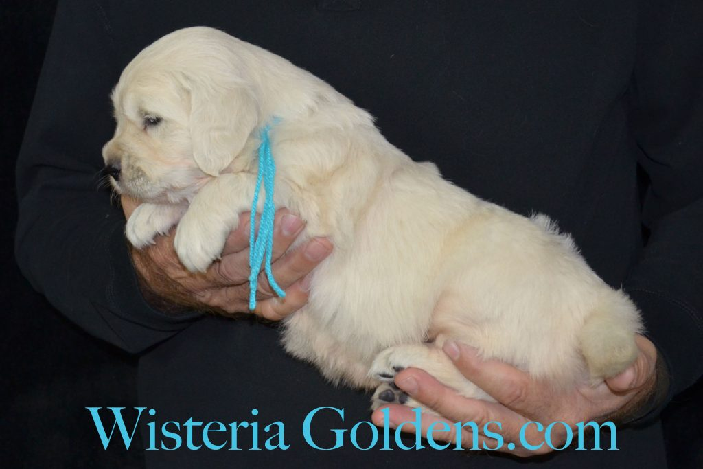 Jazz Litter 4 Week Pictures Jazz/Ego – Litter Born 10/19/2016. 2 Girls. Ready for new homes 12/14/2016. Both females are spoken for. See available pictures on the website here http://wisteriagoldens.com/available-puppies/jazz-litter-born-10-19-2016/ #wisteriagoldens #englishcreamgoldenretriver #JazzLitter