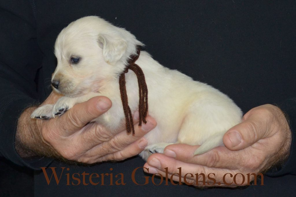 sailor Litter 4 Week Pictures #wisteriagoldens #englishcreamgoldenretriever #puppies #sailorlitter