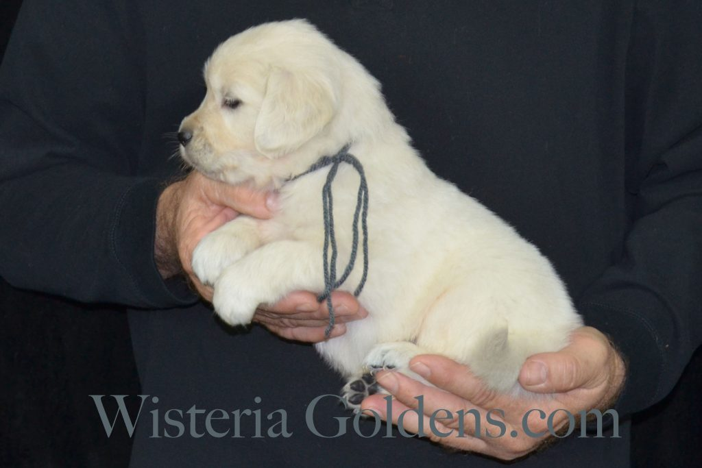 Sailor Litter five week pictures english cream golden retriever puppies wisteria goldens