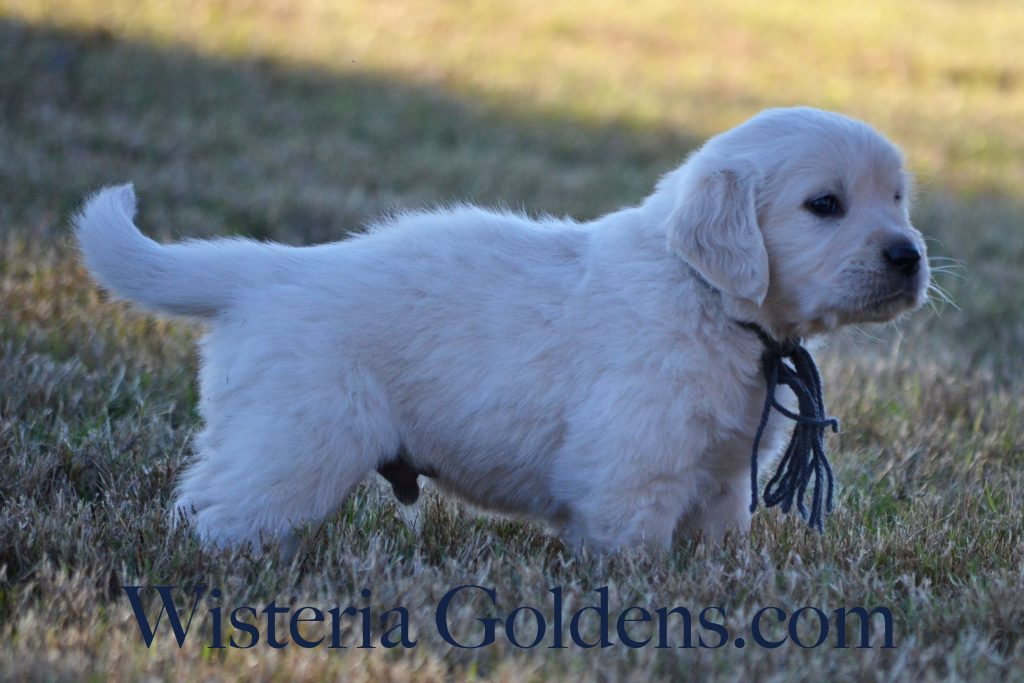 Sailor Litter six week pictures wisteria goldens English Cream Golden Retriever puppies