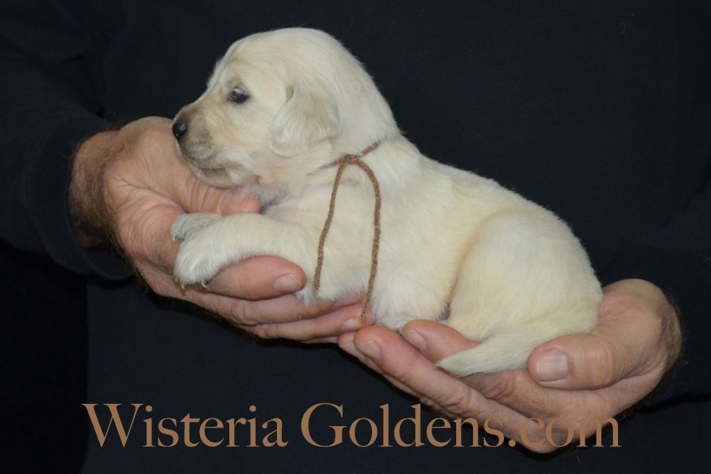 Sailor Litter Sailor/Ego Litter Born 10/24/2016. 2 Girls and 9 Boys. Ready for their new homes on 12/19/2016. #wisteriagoldens #englishcreamgoldenretriever #puppiesforsale #sailorLitter #threeweek #puppypictures
