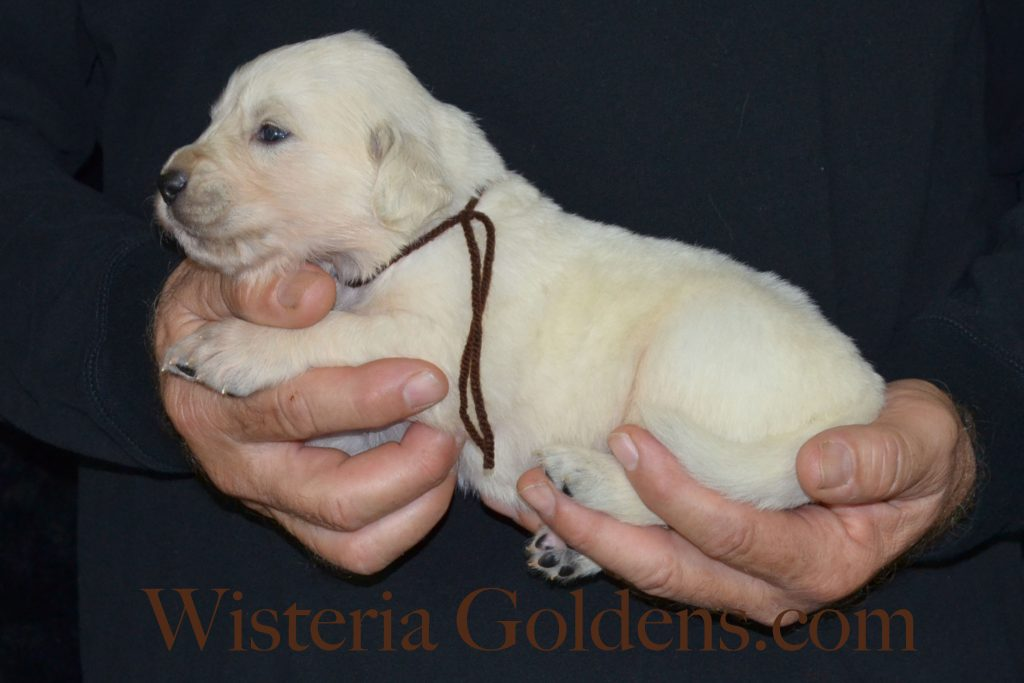 Sunny Litter Born 10-10-2016 Sunny/Thor 6 girls and 6 boys Wisteria Goldens English Cream Golden Retriever Puppies for sale #SunnyLitter