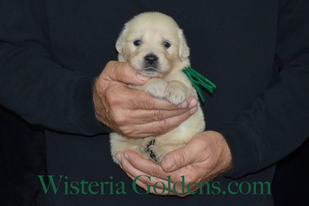 Sunny Litter Sunny/Thor Litter Born 10-10-2016 6 girls and 6 boys. Ready for new homes 12/05/2016