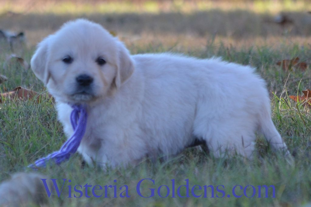 Sunny Litter 6 week pictures English Cream Golden Retriever Puppies #wisteriagoldens #sunnylitter