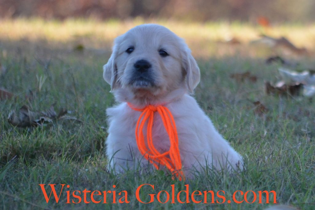 Sunny Litter 6 week pictures English Cream Golden Retriever Puppies #wisteriagoldens #puppiesforsale #sunnylitter