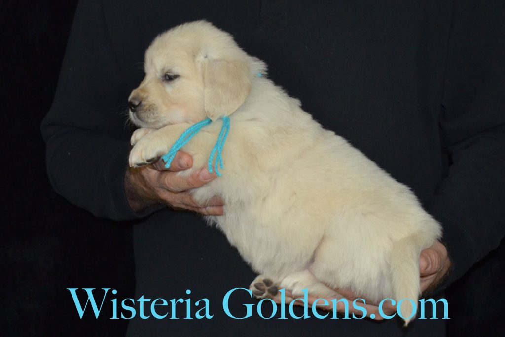Sunny Litter Sunny/Thor Litter Born 10-10-2016. 6 girls and 6 boys. Ready for new homes 12/05/2016. #wisteriagoldens #englishcreamgoldenretriever #puppiesforsale #SunnyLitter #fiveweek #puppypictures