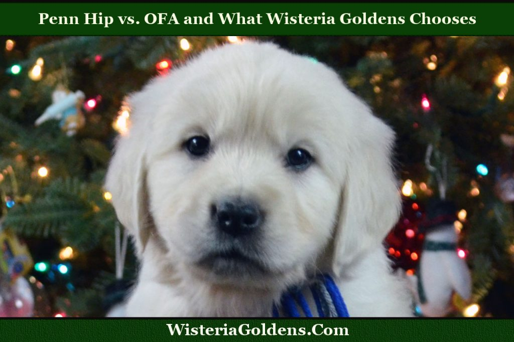 Penn Hip vs. OFA and What Wisteria Golden's Chooses  http://wisteriagoldens.com/2016/11/penn-hip-vs-ofa-wisteria-goldens-chooses/ #wisteriagoldens #Blog #englishcreamgoldenretriever #doghealth #hipdysplasia #pennhip #OFA