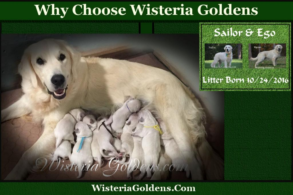 Why Choose Wisteria Goldens