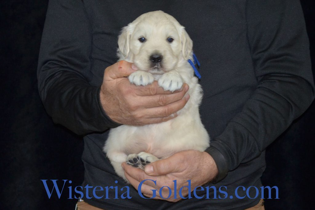 Breeze Litter Born 12-12-2016 4 Week pictures Breeze's boys were four weeks old on Monday and we have new pictures on the website. English Cream Golden Retriever puppies for sale Wisteria Goldens #BreezeLitter #WisteriaGoldens #EnglishCreamGoldenRetriever #PuppiesForSale