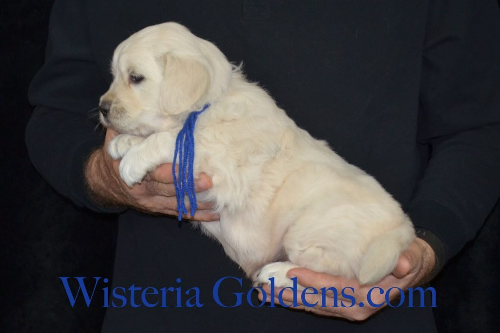 Breeze Litter Breeze/Ego Litter born 12-12-2016 five week pictures Wisteria Goldens English Cream Golden Retreiver puppies