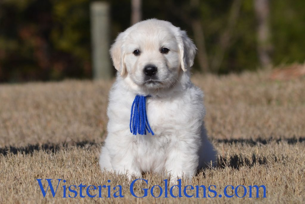 Breeze Litter Breeze/Ego Litter born 12-12-2016 3 girls and no boys. 6 week pictures. six week puppy pictures. English Cream Golden Retreiver puppies Wisteria Goldens #breezelitter #englishcreamgoldenretreiver #puppypictures #wisteriagoldens