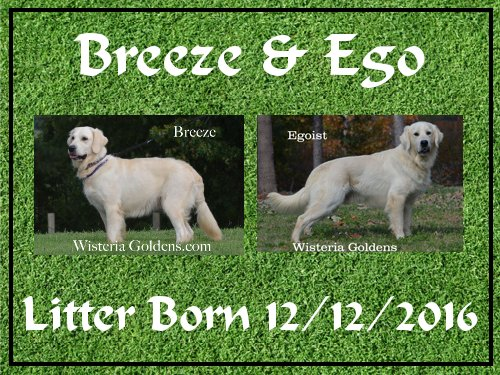 Breeze Litter 12-12-2016 Breeze Litter pictures english cream golden retriever puppies wisteria goldens Breeze/Ego Litter born 12-12-2016 #breezelitter #englishcreamgoldenretriever #wisteriagoldens #puppypictures