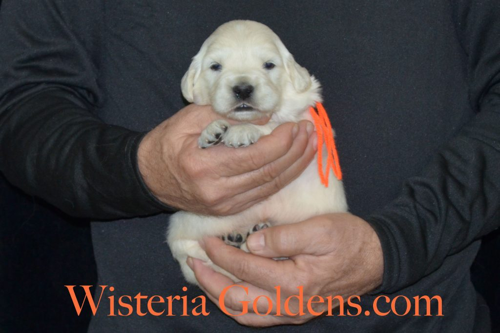 Breeze Litter 3 week pictures english cream golden retriever puppies wisteria goldens Breeze/Ego Litter born 12-12-2016 #breezelitter #englishcreamgoldenretriever #wisteriagoldens #puppypictures