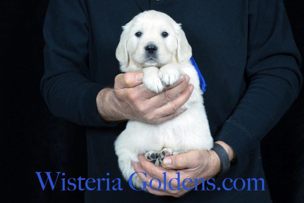 Halo Litter Halo/Ego – Litter Born 12/19/2016. 3 Girls and 4 Boys.Currently all females are spoken for and we have 4th pick male available. See five week pictures on our website. http://wisteriagoldens.com/available-puppies/halo-litter-born-12-19-2016/ All Wisteria English Cream Golden Retriever puppies receive lots of love, attention, socialization, and are started on basic training. #englishcreamgoldenretreiver #halolitter #puppiesforsale #puppypictures #wisteriagoldens