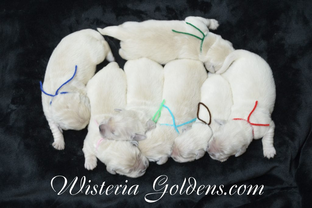 Halo Litter born 12-19-2016 Newborn pictures Halo Ego Litter born 12-19-2016 Wisteria Goldens English Cream Golden Retriever puppies for sale #halolitter #egolitter #wisteriagoldens #englishcreamgoldenretriever #puppiesforsale