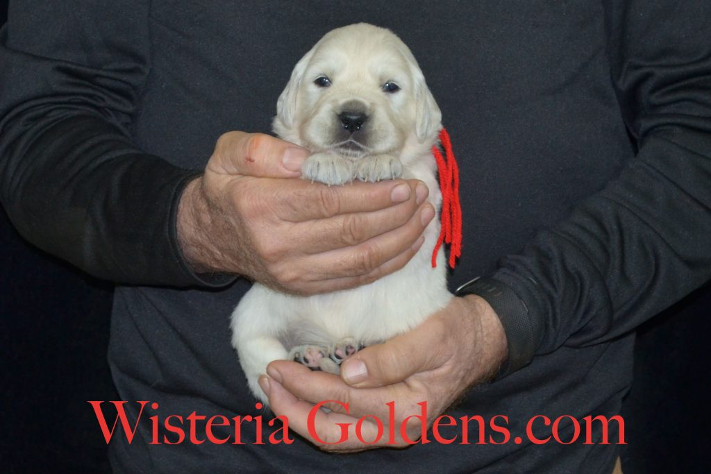 Halo Litter born 12-19-2016 - 3 week pictures. Halo/Ego Litter has new pictures on the website. English Cream Golden Retriever puppy pictures. Wisteria Goldens #HaloLitter #WisteriaGoldens #EnglishCreamGoldenRetriever #Puppiesforsale