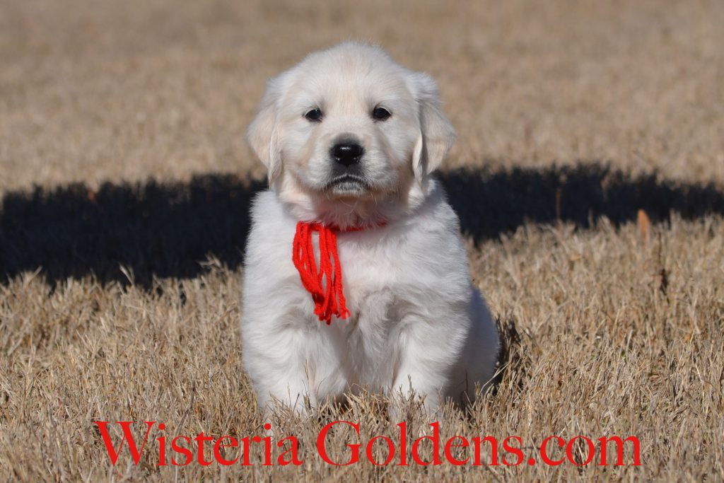 Halo Litter Halo-Ego Litter six week pictures English Cream Golden Retriever puppies Wisteria Goldens