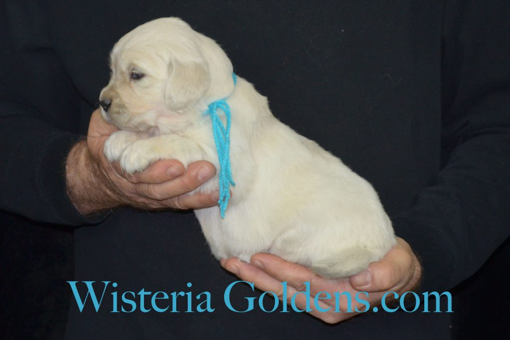 Halo Litter Halo/Ego Litter born 12-19-2016 four week pictures. Wisteria Goldens English Cream Golden Retreiver puppies for sale. Puppy photo gallery. See available pictures on the website #HaloLitter #Wisteriagoldens #englishcreamgoldenretriever #puppiesforsale