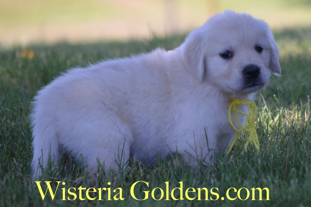 Halo Litter born 05-20-2016 Halo Ego English Cream Golden Retriever puppies Wisteria Goldens Previous Puppy photo gallery