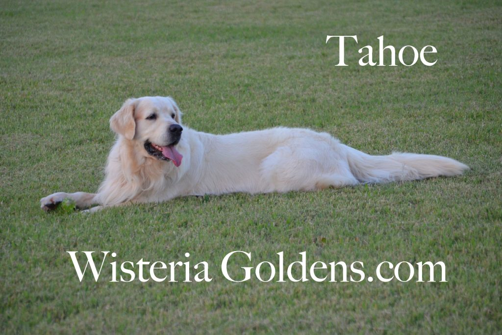 Tahoe English Cream Golden Retriever Wisteria Goldens