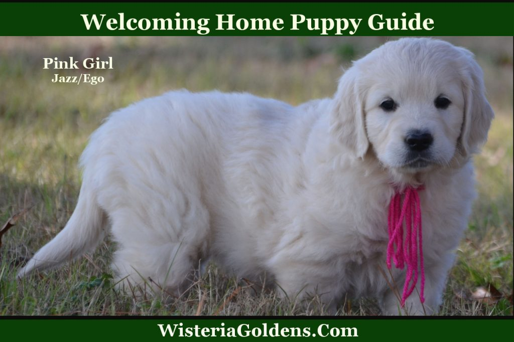 Welcoming Home Puppy Guide Wisteria Goldens English Cream Golden Retriever puppy training, tips,
