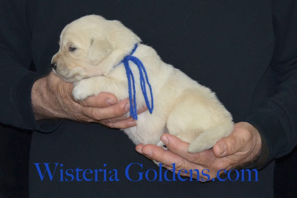 "Piper Litter Piper/Ego – Litter Born 02/17/2017 7 girls and 4 boys English Cream Golden Retriever puppies for sale Wisteria Goldens Bred with HEART Our puppies come specially ""packaged"" see home page for details wisteriagoldens.com"