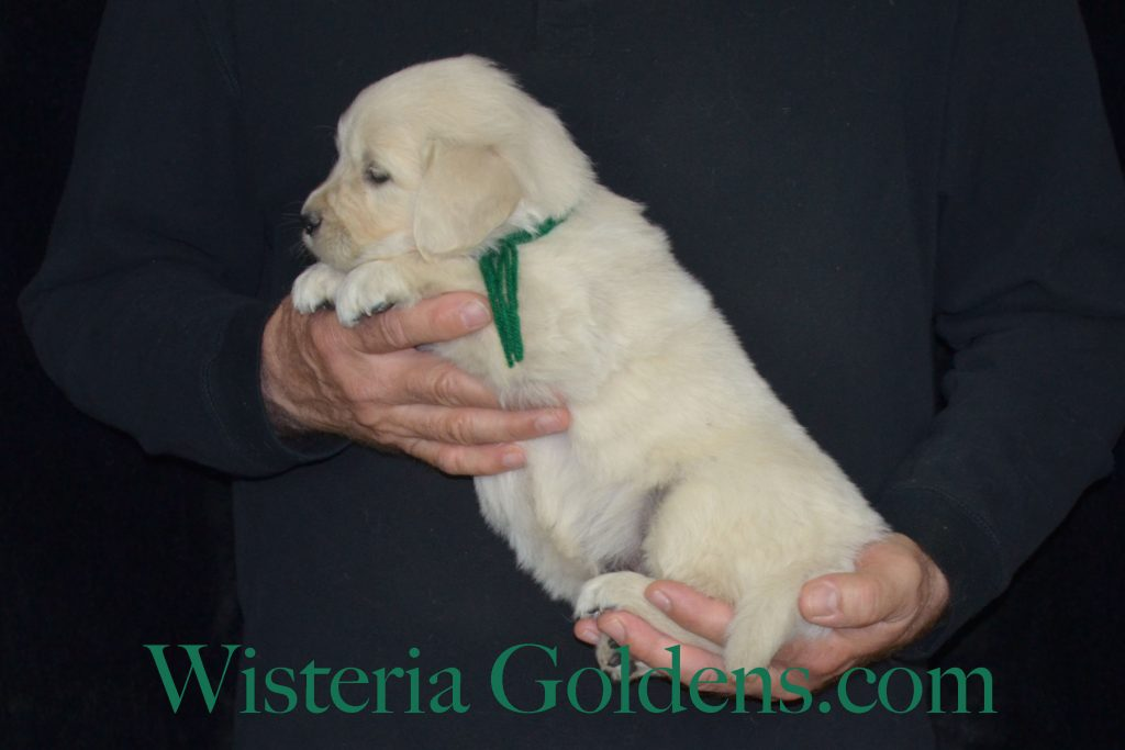 Piper Litter Five Week Pictures. Piper/Ego – Litter Born 02/17/2017 7 girls and 4 boys. English Cream Golden Retriever puppies for sale Wisteria Goldens #EnglishCreamGoldenRetriever #puppiesforsale #PiperLitter #WisteriaGoldens #PuppyPictures